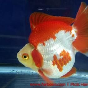 Goldfish aquarama 2015-02.jpg