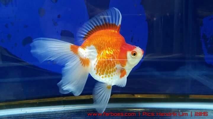 Goldfish aquarama 2015.jpg