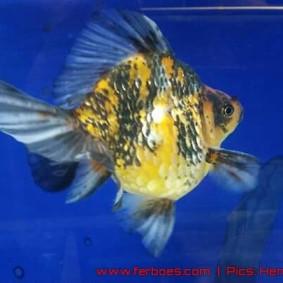 Goldfish aquarama 2015-01.jpg