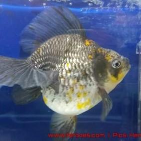 Goldfish aquarama 2015-11.jpg