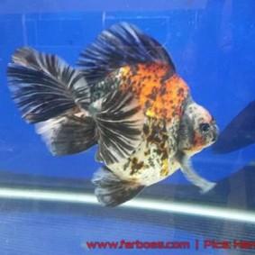 Goldfish aquarama 2015-10.jpg