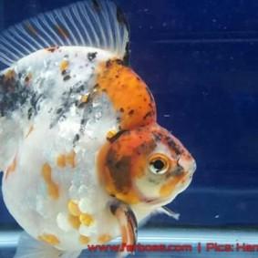 Goldfish aquarama 2015-09.jpg