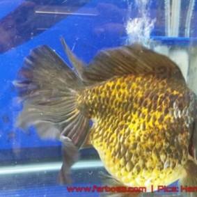 Goldfish aquarama 2015-08.jpg