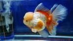 Oranda aquarama-08.jpg