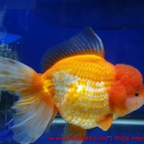 oranda aquarama-06.jpg