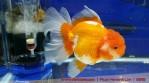 oranda aquarama-02.jpg