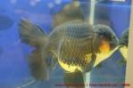 Goldfish grand champion Aquarama-01.jpg