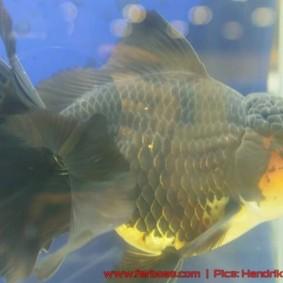 Goldfish grand champion Aquarama-10.jpg