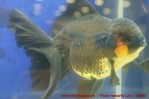 Goldfish grand champion Aquarama-02.jpg