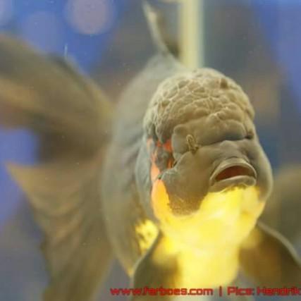 Goldfish grand champion Aquarama-05.jpg