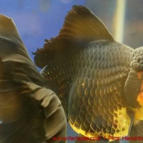 Goldfish grand champion Aquarama-04.jpg