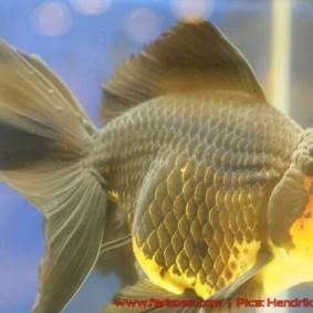 Goldfish grand champion Aquarama-13.jpg