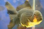 Goldfish grand champion Aquarama-12.jpg