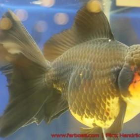 Goldfish grand champion Aquarama-15.jpg