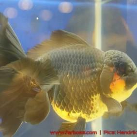 Goldfish grand champion Aquarama-14.jpg