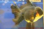 Goldfish grand champion Aquarama.jpg
