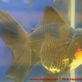 Goldfish grand champion-09.jpg