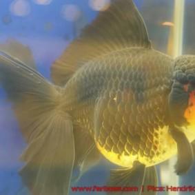 Goldfish grand champion-11.jpg