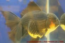 Goldfish grand champion Aquarama-07.jpg