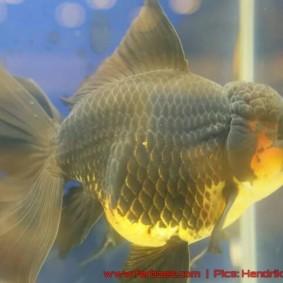 Goldfish grand champion Aquarama-06.jpg