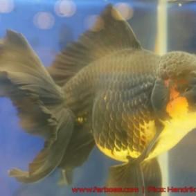 Goldfish grand champion Aquarama-08.jpg