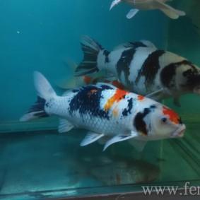 Koi goldfish-06.jpg