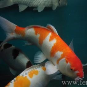 Koi goldfish-01.jpg