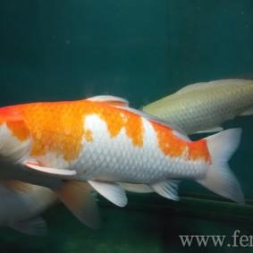 Koi goldfish-08.jpg