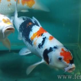 Koi goldfish-10.jpg