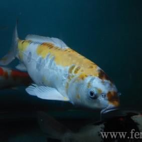 Koi goldfish-14.jpg