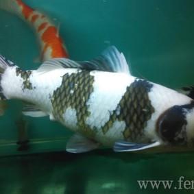 Koi goldfish-13.jpg