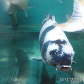 Koi goldfish-11.jpg