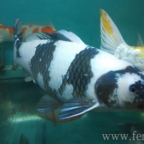 Koi goldfish-15.jpg