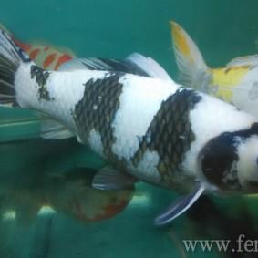 Koi goldfish-17.jpg