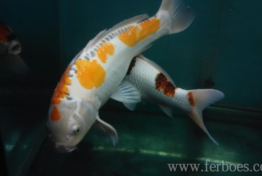 Koi goldfish-04.jpg