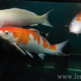 Koi goldfish-05.jpg