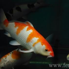 Koi goldfish.jpg
