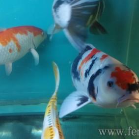Koi goldfish-02.jpg