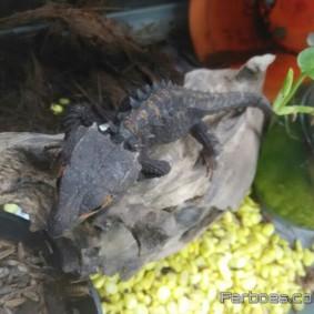 Crocodile Skink-09.jpg