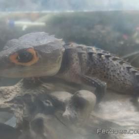 Crocodile Skink-15.jpg