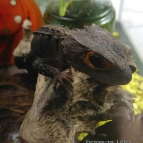 Crocodile Skink-08.jpg