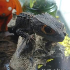 Crocodile Skink-17.jpg
