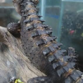 Crocodile Skink-11.jpg