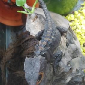 Crocodile Skink.jpg