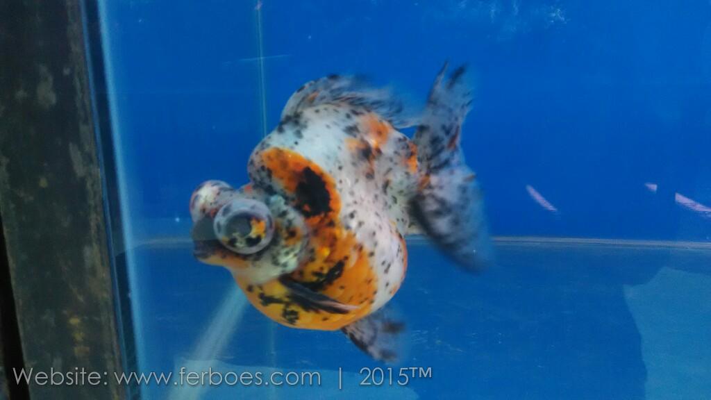 Ikan Cupang Juara Kontes Internasional