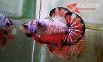 Ikan-cupang_34.jpg