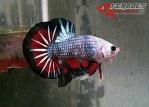 Ikan-cupang_28.jpg