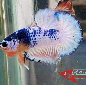 Ikan-cupang_25.jpg