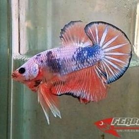 Ikan-cupang_24.jpg