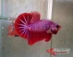 Ikan-cupang_23.jpg